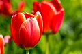 Colored tulips on a beautiful spring in a flower bed Royalty Free Stock Photo
