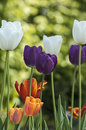 Colored tulips in spring Royalty Free Stock Photo