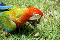 Colorful african macaw parrot exotic beautiful close up on bird face over natural background Royalty Free Stock Images
