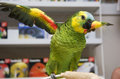 Colorful amazon parrot with it s wings spread on a playgym Royalty Free Stock Image