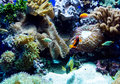 Colorful aquarium fish swim in a salt water full of coral anemone and live rock Stock Photography