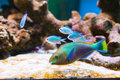 Colorful aquarium fishes swimming between rocks Stock Photography