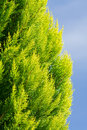 Colorful Arborvitae Evergreen Shrub Isolated Blue Royalty Free Stock Images