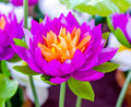 Colorful of artificial lotus background Royalty Free Stock Image
