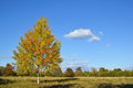 Colorful aspen at fall in a rural swedish landscape Stock Photography