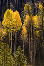 Colorful Aspen trees in Vail, Colorado Stock Photo