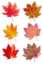 Colorful assortment of Vine Maple Leaves Stock Photography
