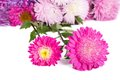 Colorful asters isolated on white background Stock Photography