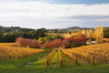 Colorful autumn in adelaide hills wine region a vineyard the Royalty Free Stock Images