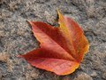 Colorful autumn leaf of the wild vine Stock Photo