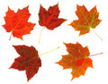 Colorful Autumn Leaves Isolated Royalty Free Stock Photo