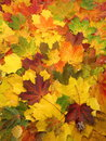 Colorful autumn leaves maple suitable as background Stock Photography