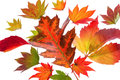 Colorful autumn leaves the messenger of on white background Stock Photos