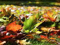 Colorful autumn leaves in sunny park maple fall seasonal Stock Images