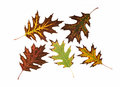 Colorful autumn leaves on a white background Royalty Free Stock Photo