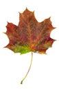Colorful autumn maple leaf isolated on white background Royalty Free Stock Photo
