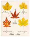Colorful autumn maple leaves Royalty Free Stock Photography