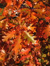 Colorful autumn tree oak foliage in Royalty Free Stock Photo