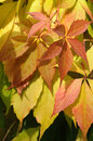 Colorful autumnal leaves orange and yellow Stock Photography