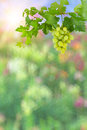 Colorful background with green grapes Royalty Free Stock Photos