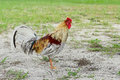 A colorful and beautiful cock or rooster bird moving free in nature on a field of the USF campus Royalty Free Stock Photo