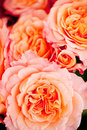 Colorful beautiful roses flowers macro closeup card background valentine Stock Photo
