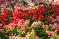 Colorful begonia flower bed Royalty Free Stock Photo