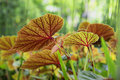 Colorful begonia leaves - worms eye view Royalty Free Stock Photo