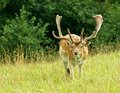Colorful big  fallow-deer with big horns, male in a grass field, close up, doe, nice wild animal in green background, nature phot Royalty Free Stock Photo