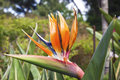 Colorful of Bird of paradise flower blossom Royalty Free Stock Photo