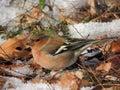 Colorful bird a small passerine fringila coelebs Stock Photo