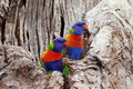 Colorful birds in colorless tree Royalty Free Stock Photo