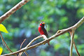 Colorful of black and red bird broadbill cymbirhynchus macrorhynchos standing on a branch Royalty Free Stock Photos