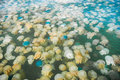 Colorful blooming jellyfish in the sea thailand Stock Image
