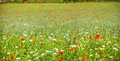 Colorful blooming wild flowers on the meadow at spring time Royalty Free Stock Photo