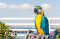 Colorful blue parrot macaw free in the real environment Royalty Free Stock Images