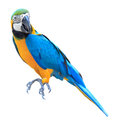 Colorful blue parrot macaw isolated Royalty Free Stock Photo