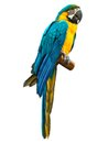 Colorful blue parrot macaw Royalty Free Stock Photo