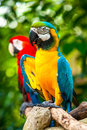 Colorful blue parrot macaw and red Royalty Free Stock Image