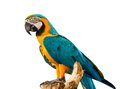Colorful blue parrot macaw on white background Stock Images