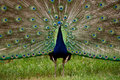 Colorful 'Blue Ribbon' Peacock in full feather Stock Images