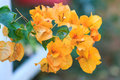 Colorful bougainvilleas orange bougainvillea flowers in full bloom beautiful bush Royalty Free Stock Photos