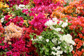 Colorful bouganvilla flowers in an exposition a wide selection of some of different colours landscape cut Stock Images