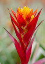 Colorful bromeliad flower close up Royalty Free Stock Photo
