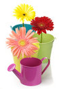 Colorful buckets, watering can and gerberas Stock Photo