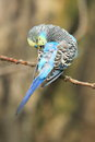 Colorful budgerigar the sitting on the branch Royalty Free Stock Photo