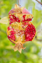 Colorful burst open pomengranate hanging from its tree branch in kakopetria cyprus photographed Stock Photography