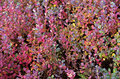 Colorful bushes of bog blueberries bilberry plant blueberry northern bilberry western blueberry vaccinium uliginosum without Royalty Free Stock Photos
