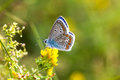 Colorful butterfly closeup. Blue orange gossamer-winged Polyommatus icarus on clover flower. Summer time greenery color Royalty Free Stock Photo