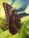 Colorful butterfly on a leaf close up of resting Royalty Free Stock Image